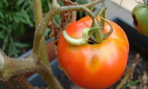 Как избавиться от гусениц на помидорах – в теплице народными средствами – все о помидорках