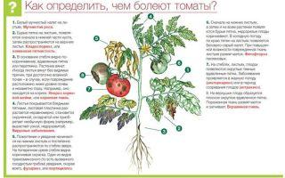 Болезни томатов – описание с фотографиями и способы лечения – все о помидорках