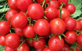 Томат крошка тим: особенности сорта, описание, урожайность, отзывы – все о помидорках