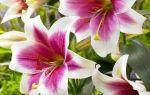 О лилии триумфатор (triumphator): описание ло-гибрида, посадка и уход за сортом