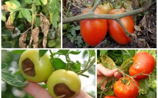 Болезни томатов: описание с фотографиями и способы лечения – все о помидорках
