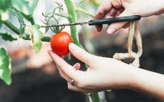 Томат монгольский карлик: описание сорта, фото, отзывы – все о помидорках