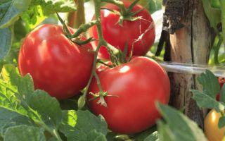 Томат волгоградский скороспелый: характеристика и описание сорта, урожайность, отзывы – все о помидорках