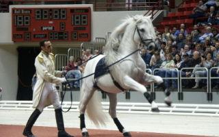 О липицианской лошади: описание породы и характеристики лошадей, уход за породой