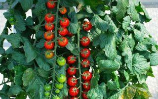 Томат рапунцель: описание сорта, характеристика, выращивание, отзывы, фото – все о помидорках
