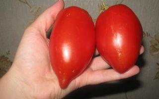 Томат козье вымечко: характеристика и описание, отзывы, фото, урожайность сорта – все о помидорках