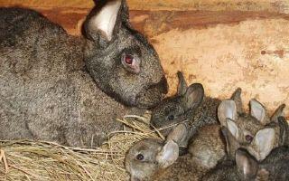 О кролике серый великан: особенности породы, разведение, содержание и кормление