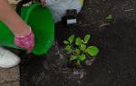 О посадке гортензии для новичков: как посадить и ухаживать, условия выращивания