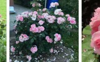 О розе candlelight: описание и характеристики сорта, уход и выращивание