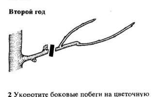 О груше августовская роса: описание и характеристики сорта, посадка, уход