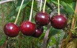 О вишне радонеж: описание сорта, способы и особенности выращивания