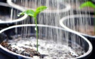О высадке баклажанов в открытый грунт: минимальная температура, при которой можно сажать