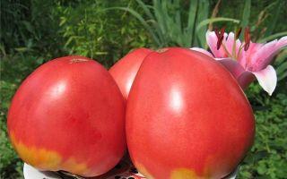 Томат розовое рафаэлло: характеристика сорта, описание, отзывы, урожайность – все о помидорках