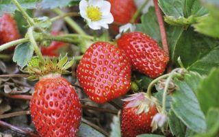 О клубниике джоли: описание сорта, агротехника посадки и выращивания