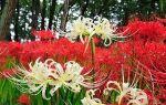 О паучьей лилии (ликорис): описание и характеристики, посадка и уход