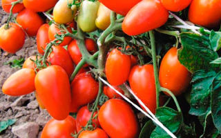 Томат вспышка: характеристика и описание сорта, отзывы тех, кто сажал – все о помидорках