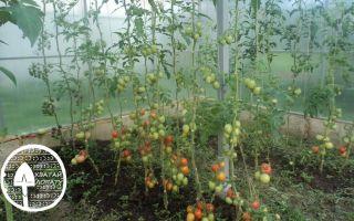 Чем подкормить томаты во время цветения и плодоношения в теплице – все о помидорках