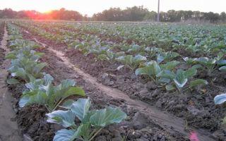 О посадке капусты: как правильно посадить, как выбрать правильное место