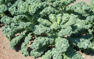 О капусте кудрявой кале (кейл, русская капуста): выращивание и уход