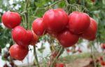 Томат бычья кровь: особенности сорта, описание, урожайность, отзывы – все о помидорках
