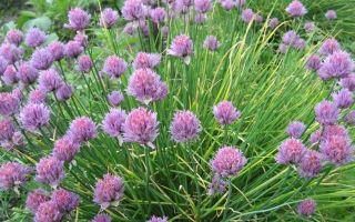 О разновидностях зеленого лука: с плоским широким листом, и тонким пером