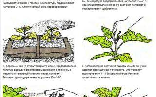 О поливе баклажанов в открытом грунте: как часто, когда нужно, как правильно