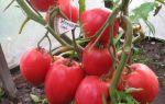 """Томат """"кенигсберг"""": отзывы, фото, урожайность сорта – все о помидорках"""