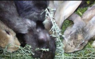 О полыни для кроликов: правила скармливания, можно ли давать как лекарство
