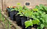 О боковых корнях кабачков: объяснение, схема, повышение урожайности