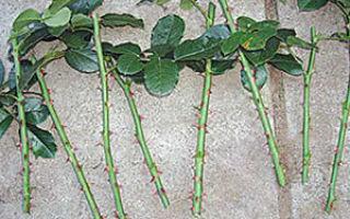 О разведении роз черенками в домашних условиях: как правильно размножить розу