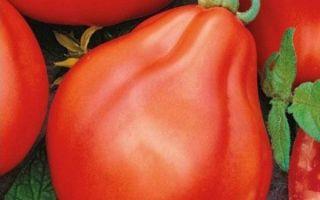 Томат коловый: характеристики и описание сорта, урожайность, кубанский, отзывы, фото – все о помидорках