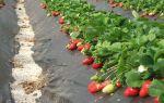 О землянике азия: описание и характеристики сорта, посадка, уход, выращивание