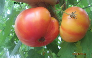 Томат малиновый гигант: отзывы, фото, урожайность, характеристика и отзывы – все о помидорках