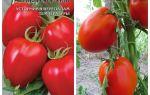 Томат галина: характеристика и описание сорта, отзывы, фото, урожайность – все о помидорках