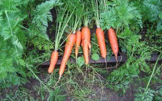 Королева осени: описание сорта моркови, характеристики, агротехника