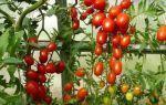 """Томат """"спрут"""": отзывы тех, кто сажал, характеристика и описание сорта – все о помидорках"""