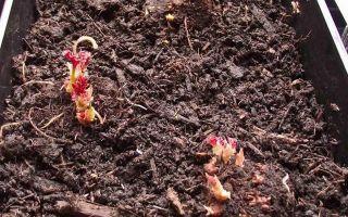 О посадке и уходе за бегонией клубневой в саду, выращивание в открытом грунте
