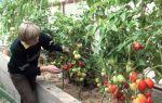 Когда снимать помидоры в теплице на дозревание – все о помидорках