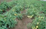 О томате челнок: описание и характеристики сорта, уход и выращивание