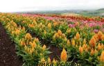 О посадке и выращивании амаранта: как посеять семена и вырастить растение дома