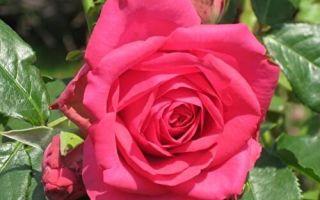 О розе maritim: описание и характеристики, выращивание сорта плетистой розы