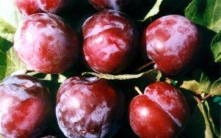 О сливе евразия: описание сорта, агротехника выращивания, особенности ухода