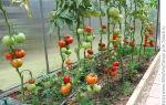 Томат золотая теща: характеристика и описание сорта, отзывы, фото, урожайность – все о помидорках