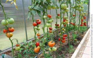 Пьяные помидоры, выращивание, созревание, отзывы – все о помидорках