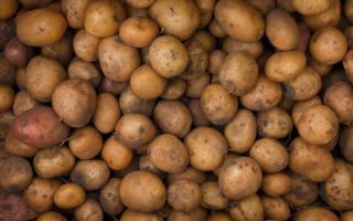 О картофеле армада, беккер, лорен: описание семенных сортов, характеристики
