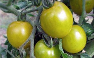 Томат «зеленый виноград»: описание сорта, характеристика, выращивание, отзывы, фото – все о помидорках