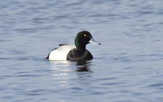 О породе черных уток: как называется, описание, где обитает птица
