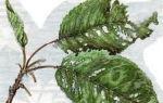 О лечении болезней черешни, борьбе с вредителями (как реанимировать дерево )