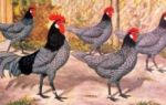 О курах андалузская голубая: характеристики породы, разведение, уход