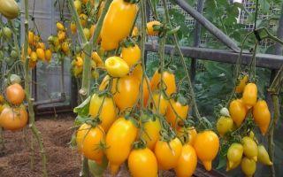 Томат золотая канарейка: характеристика, описание сорта, отзывы, фото, урожайность – все о помидорках